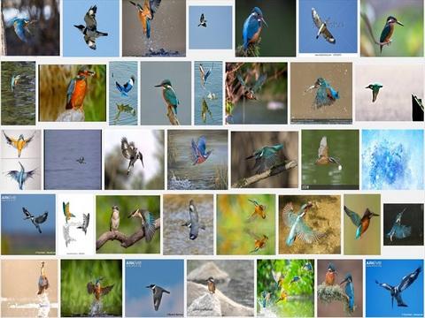 グーグル検索 kingfisher flying_R.jpg