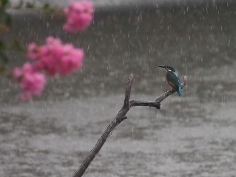 サルスベリとカワセミ 雨.jpg