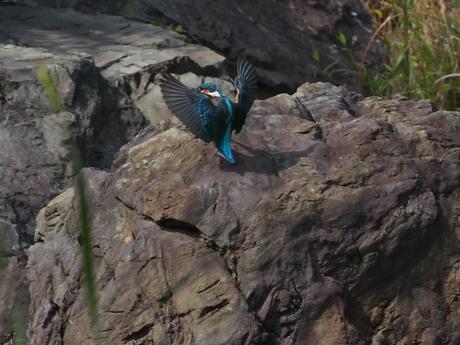 岩で羽広げ.jpg