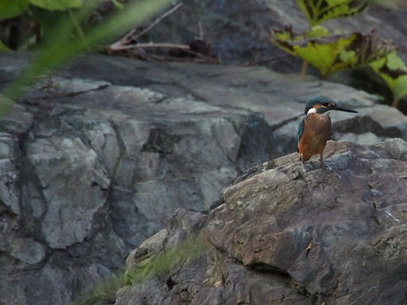 岩の上若鶏.jpg