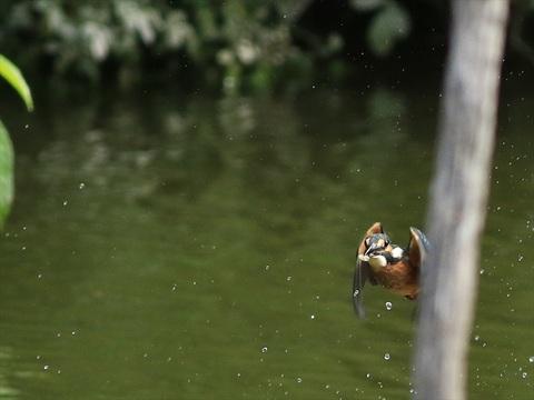 幼鳥飛び2_R.jpg