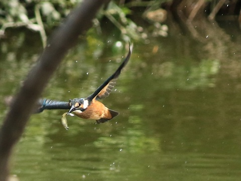 幼鳥飛び3_R.jpg
