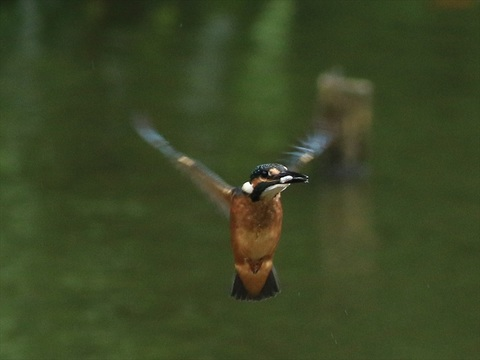 幼鳥飛び8_R.jpg