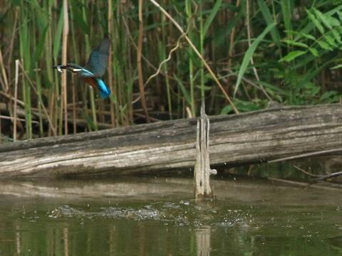 幼鳥餌採り1_R.jpg