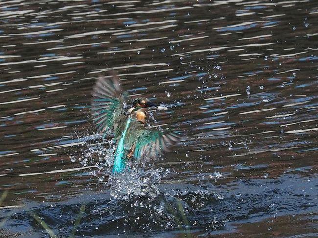 水面飛び出し5_R.jpg