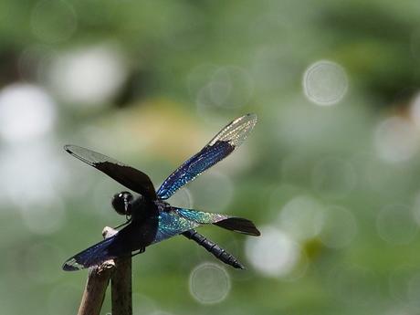 蝶トンボの7.jpg