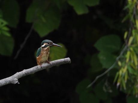 雌の若鳥.jpg