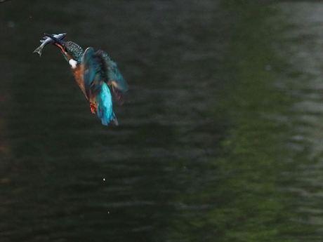 魚咥え飛びあがり1_R.jpg