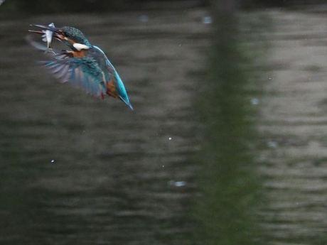 魚咥え飛びあがり3_R.jpg