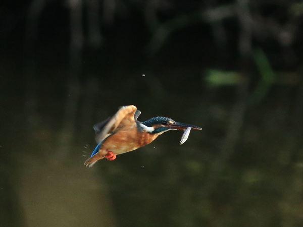 魚咥え飛び1_R.jpg