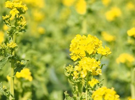 P3050056菜の花.jpg