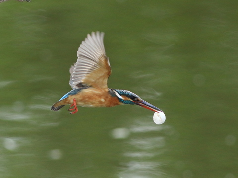 kingfisher flying with egg.jpg